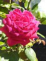 Pink Rose With Background.jpg