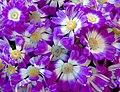 Pink flowers of Senecio Cruentus.jpg