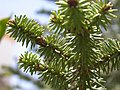 Pinsapo fir needles.jpg