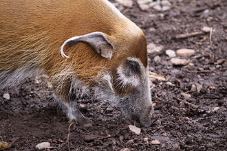 Red river hog - Red river hog at Durrell Wildlife Park (Jersey)