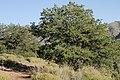 Pinus edulis - Flickr - aspidoscelis (3).jpg