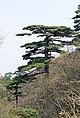 Pinus hwangshanensis oldtree2.jpg