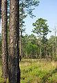 Pinus palustris UGA2.jpg