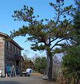 Pinus taiwanensis Zilupe.jpg