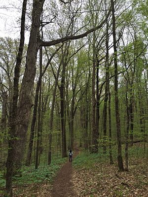 Pioneer Mothers Memorial Forest - An image of the trail in the Pioneer Mother's Memorial Forest within the Hoosier National Forest in late April. The large height of the trees can be discerned when compared to the person standing in the trail.