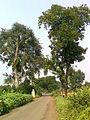 Pipal-Neem trees 03.jpg