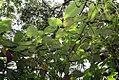 Piper auritum 33zz.jpg