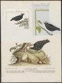 Pipra leucocilla - 1700-1880 - Print - Iconographia Zoologica - Special Collections University of Amsterdam - UBA01 IZ16600205.tif