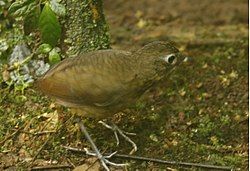 Plain-backed Antpitta a.jpg