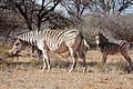 Plains Zebras (Equus quagga burchellii) mare and foal ... (32289128033).jpg