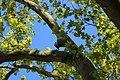 Platane an der Burgeff-Villa Hochheim IMG 6791 07.jpg