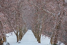 Platanenallee-mit-Schnee.jpg