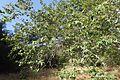 Platanus racemosa kz2.jpg