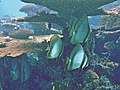 Platax orbicularis Voavah.JPG