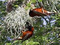 Ploceus-rubiginosus-2