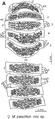 Plos One e105877 Figure 5-A Maatidesmus paachtun.png