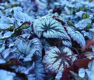 Begonia - Plum Paisley Begonias in a greenhouse.