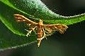 Plume Moth (Deuterocopus albipunctatus) (15522493265).jpg