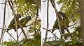Poicephalus senegalus -Hann Park -Senegal -pair-8.jpg