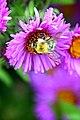 Poland-01811 - Busy Bee (31744205290).jpg