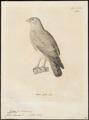 Poliornis liventer - 1700-1880 - Print - Iconographia Zoologica - Special Collections University of Amsterdam - UBA01 IZ18100287.tif