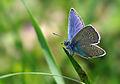 Polyommatus bellis - Greek mazarine blue.jpg