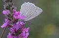 Polyommatus daphnis (Male) - Çokgözlü Dafnis.jpg