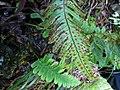 Polypodium pellucidium var. pellucidium (4755513245).jpg