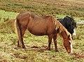 Ponies (33782599795).jpg