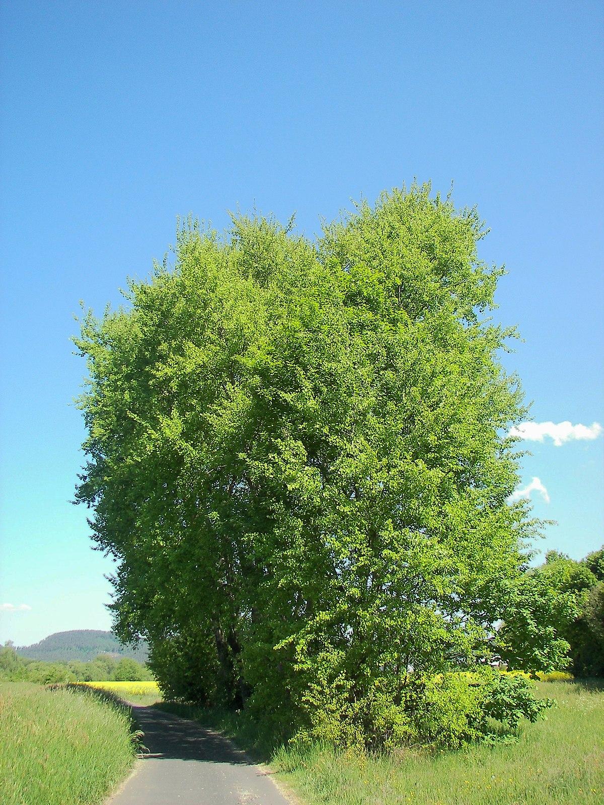 осина фото дерева и листьев