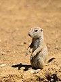 Prairie Dog (19628356432).jpg