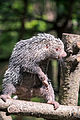 Prehensile Tail Porcupine Standing Aggressively (18145827621).jpg