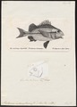 Pristipoma melanopterum - - Print - Iconographia Zoologica - Special Collections University of Amsterdam - UBA01 IZ13000121.tif