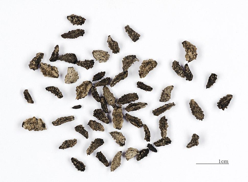 Proboscidea althaeifolia MHNT Seeds