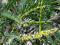 Prosopis juliflora, known as the Velvet Mesquite (10078437503).jpg