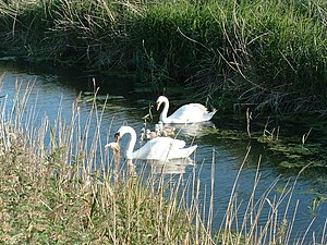 English: Proud parents Family of swans on The ...