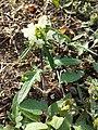 Prunella laciniata sl23.jpg