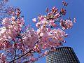 Prunus × yedoensis 'Jindai-akebono' 03.jpg