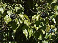 Prunus avium, Plena Gefüllte Vogel-Kirsche.JPG