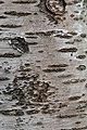 Prunus cerasus Montmorency tree bark 10.jpg