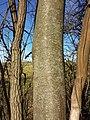 Prunus padus subsp. padus sl20.jpg