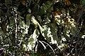 Pseudocyphellaria (3164067788).jpg