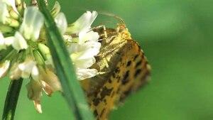 File:Pseudopanthera macularia.ogv