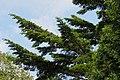 Pseudotsuga japonica branches.jpg