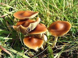 Psilocybe - P. subaeruginosa, Australia