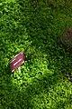 Psilotum nudum, Conservatoire botanique national de Brest 01.jpg