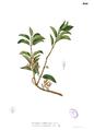 Psittacanthus robustus Blanco2.444.png