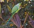 Psittacula krameri -Whitefield, Bangalore, India -male-8.jpg