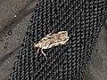 Psoricoptera gibbosella (42040982490).jpg