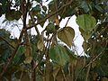 Pterospermum ¿ species ? (5592097841).jpg